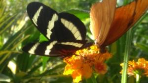 Schmetterling_weigang